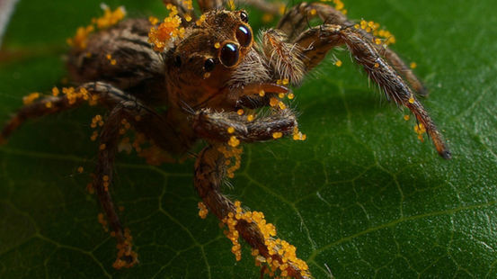 plant eating jumping spider