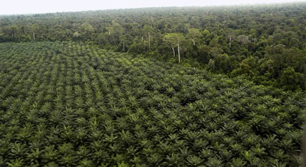 Ricoh   ambiente  oil palm plantation