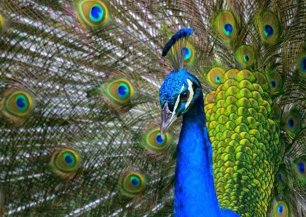 Gli e reader del futuro con schermi che imitano i pavoni - Immagini pavone a colori ...