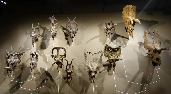 Ceratopsidi