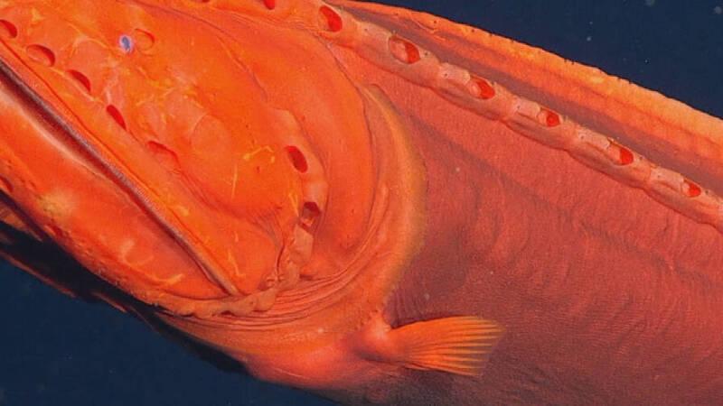 Rare specimen of whalefish observed in Monterey Bay